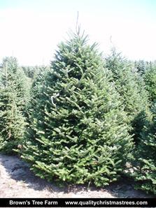 Frasier Fir Christmas Tree.Christmas Tree Fundraising Xmas Trees